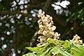 Aesculus hippocastanum in Christchurch Botanic Gardens 02.jpg