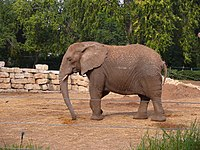 AfricanElephant-SRG001.jpg