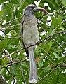 African Grey Hornbill (Tockus nasutus) female (16270619729).jpg