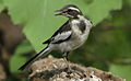 African Pied Wagtail, Motacilla aguimp in Kruger National Park (13850273703).jpg