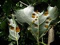 Agallas - Taphrina populina - Taphrina aurea (7494228392).jpg