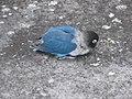 Agapornis personatus -Madeira -blue mutant-4.jpg