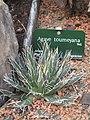 Agave toumeyana (Jardin des Plantes de Paris).jpg