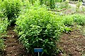 Ageratina altissima - Urban Greening Botanical Garden - Kiba Park - Koto, Tokyo, Japan - DSC05350.jpg