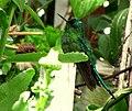 Aglaiocercus kingi (Silfo coliverde) (14352749433).jpg