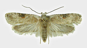 Agonopterix alstroemeriana - Mounted adult