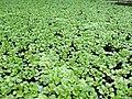 Aguapé - Eichhornia crassipes. - panoramio.jpg
