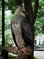 Aguila harpia.jpg