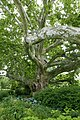 Ahornblättrige Platane Doblhoffpark 02.jpg