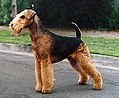 3 / Airedale Terrier