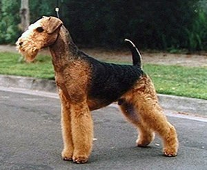 Guard dog - Airedale Terrier