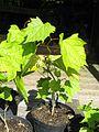 Alangium platanifolium - Flickr - peganum.jpg