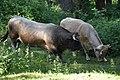Albères - Taureau et vache.jpg