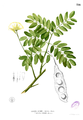 Albizia lebbek Blanco2.316.png