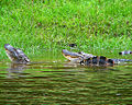 Alligator pair (6862204929).jpg