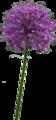 Allium altissimum.png