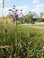Allium carinatum subsp. carinatum sl9.jpg