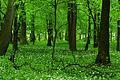 Allium ursinum - Uroczysko Zielona 04.jpg
