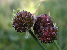 Allium vineale02.jpg