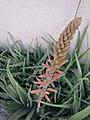 Aloe vera flower 22.jpg