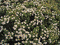 Alpine Heath-like Daisy (3193520829).jpg