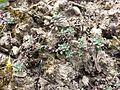 Alyssum alyssoides sl7.jpg