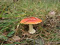Amanita muscaria found on Sobieszewo Island in northern Poland October 2009 photo 1.jpg
