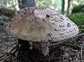 Amanita rubescens 110284913.jpg