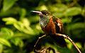 Amazilia amazilia Parc des Oiseaux 21 10 2015 1.jpg