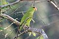 Amazona albifrons -Belize-8.jpg