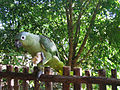 Amazona farinosa -Guatemala -eating banana-8.jpg