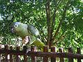 Amazona farinosa -Guatemala -eating banana-8.jpg