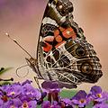 American Lady Butterfly-27527-1.jpg