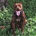 American pitbull terrier O verdadeiro.jpg