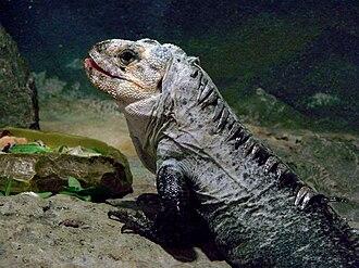 Ctenosaura - Image: Amneville Ctenosaura bakeri 27 08 2010 2