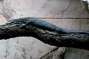 Black tree monitor - Taken at Zoo d'Amnéville