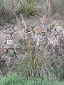 Ampelodesmos mauritanicus Tuscany 1.jpg