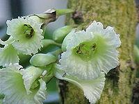 A. macrophylla