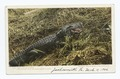 An Alligator, Florida (NYPL b12647398-62395).tiff