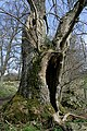 An old ash tree of some character - geograph.org.uk - 1238966.jpg