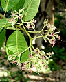 Anacardium occidentale - Fruit and Spice Park - Homestead, Florida - DSC08934.jpg