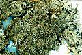 Anaptychia palmulata-3.jpg