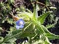 Anchusa arvensis flower 1 AB.jpg