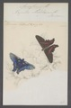 Ancyluris - Print - Iconographia Zoologica - Special Collections University of Amsterdam - UBAINV0274 049 20 0016.tif
