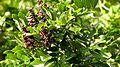 Andira fraxinifolia Benth. - Flickr - Alex Popovkin, Bahia, Brazil (9).jpg