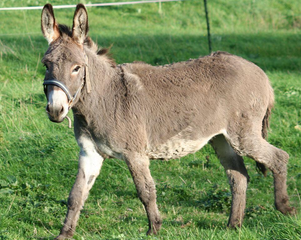 Donkeys For Sale On Long Island Ny