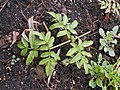Angelica palustris 2017-04-30 9102.jpg