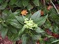 Angelica pubescens 1zz.jpg