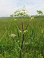 Angelica sachalinensis 1.JPG