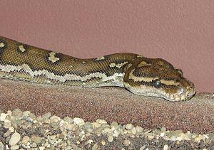 Python (genus) - Python anchietae
